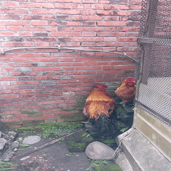 A rooster and a hen