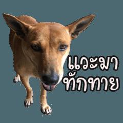 จิ้งโจหมาไทย