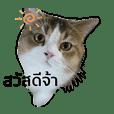 Thongake the chubby cat