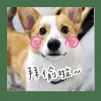 Bulu corgi doggy
