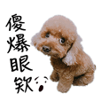 Toy Poodle Boss