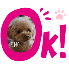 pino_toypoodle
