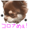 chihuahua is name choco covid-19