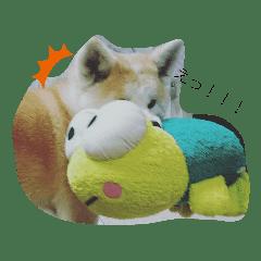 秋田犬のララちゃん