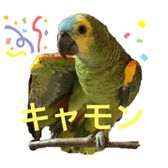 Blue fronted amazon parrot AO chan