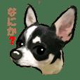 -Chihuahuas-ver.2