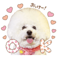 bichon frise Sticker model