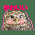 コキンメフクロウのハミィ