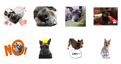 Lovely Miniature Schnauzers