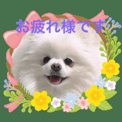 ポメラニアン埼玉まるちゃん2