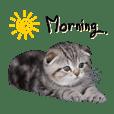 Luffy Baby Cat (Scottish Fold)