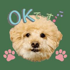 フワモコ犬・トイプードルのムク