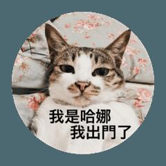 Hana cute cute cat life