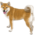 As expected! Shiba Inu [Regular]