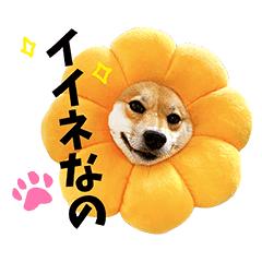 柴犬ももっぷ【基本フレーズ編】