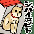 Shiba Inu dog man