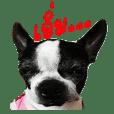 Boston terrier(Mina)