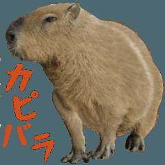 Pretty capybara