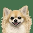 Good! Chihuahua.