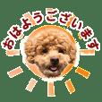 Lovely Toy poodle Kobo
