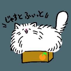 Cute Persian cat Moco