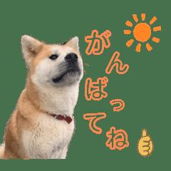 秋田犬コレクション