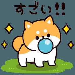 Answer Shiba Dog 4