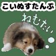 sheltie puppylife