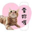 小橘貓拿鐵拉花橘美短黃貓美國短毛貓06