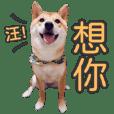 Shiba ShawP's Everyday_happy dog life