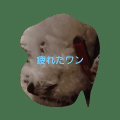 愛犬ポップちゃんスタンプ