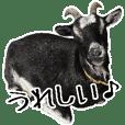 A goat came to Hotaru no Sato