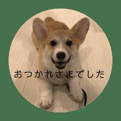 サラリーマン子コーギー