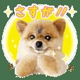 Pomeranian Mofuta 4