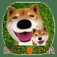 柴犬の「芝けん太」4