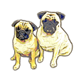 Realistic pug Sticker
