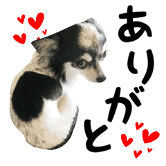 ハート犬の出雲/チワワ-1