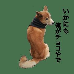 チョコ犬〜日常〜