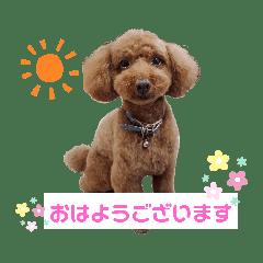 トイプーのアンちゃん♡2