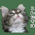 子猫【メインクーン】