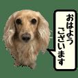【実写16セット】ダックスフンド