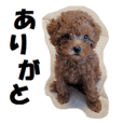 Toy Poodle Lion