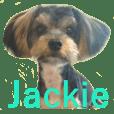 Yorkshire terrier Jackie