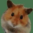 Golden Hamster~MoMoJai~
