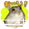 Djungarian hamster -Hamuta- Photo ver.1