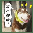 哈士奇的日常狗語
