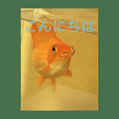 金魚スタンプだよー