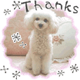 "toy poodle ""LUNLUN""-movie- English 2"