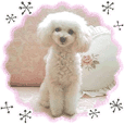 "toy poodle ""LUNLUN""-movie- Chinese 2"