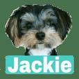 约克夏狗逗人喜爱的小狗杰基